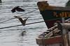 Pamban Bridge, Rameswaram (RossCunningham183) Tags: pambanbridge rameswaram india southindia tamilnadu fisherman boats birds bird eagle