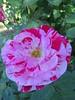 IMG_3323 (reuse) Tags: mayflowers