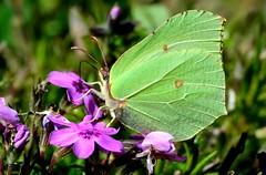DSC_6206 (sylvettet) Tags: papillon butterfly 2017 insecte nature yellow jaune gonepteryxrhamni papilloncitron