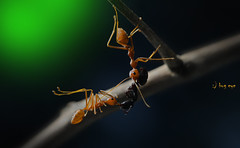 teAmwOrk (bug eye :) Thailand) Tags: animal insect bug bugeye ant redant tropical oriental thailand nature