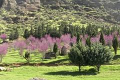 Blooming almond trees around Kermanshah, Iran (Sekitar) Tags: iran persia blooming almond trees kermanshah earthasia