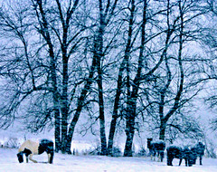 snowday3 (Kens images) Tags: winter storm snow horses ranch cold freezing rural countryside farm trees