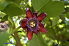 pssiflor-alataDSC1829 (costapppr) Tags: passiflora maracujá