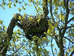 Huge Bird's Nest (ERIK THE CAT Struggling to keep up) Tags: nests birds butterhill staffordshire