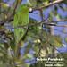 Cuban Parakeet, Psittacara euops