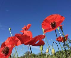La natura si che ci mette il cuore.... (scatti_sc Silvia) Tags: papaveri rosso natura colors red flowers poppies campo estate summer cielo sky