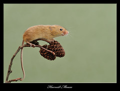Harvest Mouse (deanmasonwp) Tags: harvest mice mouse rodent animal mammal cones dean mason windows wildlife dorset workshop workshops nature photography nikon d3s sigma 105mm macro