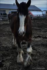 Prancer (John Neziol) Tags: kjphotography clydesdale nikon nikondslr nikoncamera portrait parisontario horseandfriends horsephotography horse pet animal outdoor pracinghorse