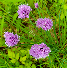 Days Like These (drei88) Tags: chives color blossoms may spring growth energy seasons optimism regeneration life cycles