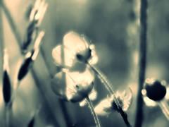 Boutons d'or (nathaliedunaigre) Tags: flowers fleurs wildflowers fleurssauvages fleurdeschamps bleu blue monochrome macro details détails poétique poetic effetbokeh bokeh boutonsdor light lumière