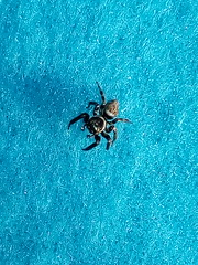 IMG_20170504_181405 (axanthoaxantho) Tags: greece ikaria animal spinne spider tier griechenland insekt insect