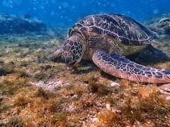 #turtle #apoisland #dumaguete #cebu #philippines #海龜 #阿波島 #杜馬蓋地 #宿霧 #菲律賓 (Mg Lin) Tags: