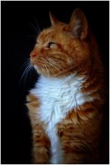 Tim (tina777) Tags: tim manx cat feline shorthair ginger white eyes ears whiskers fur natural light black backdrop ononesoftware