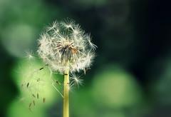Schönheit ist die Form, (SpitMcGee) Tags: löwenzahn pusteblume dandelion samen seed bokeh grün green frühling spring inmygarden inmeinemgarten spitmcgee ralphwaldoemerson