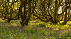 Tangled Trees in the Bluebell Wood (jillyspoon) Tags: tangled trees bluebell wood twisting spring dumfriesandgalloway dumfriesgalloway scotland monreith bluebells wooded eerie carpet carpetofbluebells canopy canon canon70d