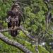 juvenile bald eagle and his ruffled feathers