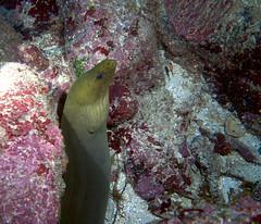 green moray (Jeff Mitton) Tags: eel moray greenmoray coral reef underwater scuba caribbean caribbeansea guanaja honduras tropical earthnaturelife wondersofnature