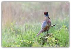 Faisan de colchide (guiguid45) Tags: nature sauvage oiseaux bird gibier loiret forêtdorléans forêt d810 nikon 500mmf4 faisandecolchide phasianuscolchicus affût