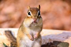 DSC_8298 (s_hallman55) Tags: chipmunk critters summer animal wild wildlife fur face cute