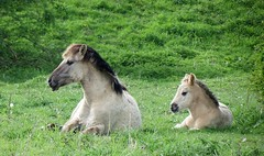 Mother and son (daaynos) Tags: konik konikhorses horses foal cute