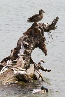 Ducks by tree stump