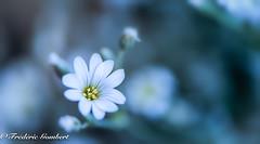 generations... (frederic.gombert) Tags: light flower flowers tiny color grey blue flora sunlight macro nikon 105mm garden