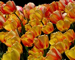 sway (armykat) Tags: longwoodgardens kennettsquarepennsylvania tulipalooza tuliplooza2017 tulips tulip flowers flower floral garden flowerbed outdoor natureycrap