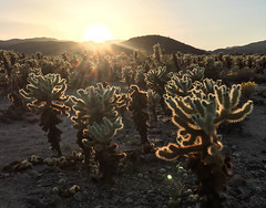 Cholla Cactus Gardens - Joshua Tree National Park, California (ChrisGoldNY) Tags: chrisgoldberg chrisgoldphoto chrisgoldny albumcover albumcovers bookcover book covers licensing sony sonyimages sonyalpha sonya7rii joshuatree california socal desert america usa iphone cholla chollas cactus cacti succulents suculent plants nature outdoors fauna