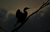 A cormorant on Victoria Island (aka Turtle Island) in Ottawa, Ontario (Ullysses) Tags: cormorant bird victoriaisland turtleisland ottawa ontario canada spring printemps silouette