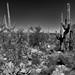 Cactus of Many Kinds, Shapes and Sizes (Black & White, Saguaro National Park)