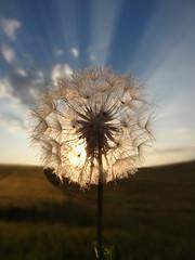 Dandelion (DaveTanner8) Tags: sunset south downs dandelion