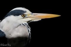 Grey Heron (parry101) Tags: south wales southwales nature geraint parry geraintparry heron herons grey greyheron bird birds wildlife cardiff forestfarm forest farm