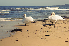 Wherever you will go.... (Edita Ruzgas. Thanks for your visit.) Tags: sand sandy summer birds swans couple edita ruzgas nikon sweden scandinavia southern south skåne sverige österlen