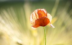 coquelicot (Henri Aubron) Tags: coquelicot poppy red rouge fleur flower fire fuego feu avoine paysage lumière couleur henri aubron light