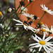 Native Bee, Daisies and Bird Bath – Red Moon Sanctuary, Redmond, Western Australia