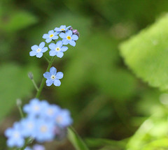 Into The Woods (Belle Pans Maze) Tags: mm macromondays macro flower wildflower wood field forgetmenot myosotis arvensis blue canoneos700d canon member'schoiceintothewoods