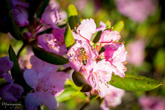 Bee (_THphotography_) Tags: backpacking bee blueridgemountains hawksbillmountain linvillegorge mountains northcarolina outdoor rhododendron spring