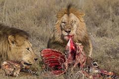 Ribs are for sharing? (Hector16) Tags: africa nomad safari ndutu outdoors tanzania pantheraleo drought wildlife serengeti shinyangaregion tz lion ngc