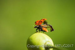 """Close up of 16-spot Ladybird  spreads its wings as it takes to the  air from  cherry  ( Coccinella septempunctata) (I'll catch up with you later, your comments and cr) Tags: nikond610fx rertug """"nikonflickraward"""" nikon60mmf28 macro ladybird ladybug insect"""