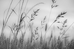 scents of grass (courtney065) Tags: nikond800 nature landscapes flora foliage meadow field meadowland mono bw blackandwhite softlight softness depthoffield whimsical artistic monochrome grass breezy