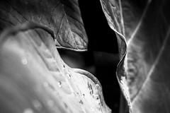 radiance unfolds gradually (Super G) Tags: sony005 hawaii maui roadtohana bigleaf ofunknownplant bw blackandwhite bokeh folds