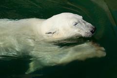 Polar Bear Wildlands (K.Verhulst) Tags: polarbears polarbear polar ijsberen ijsbeer bears beren wildlandsadventurezoo wildlands emmen