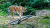 DSC03832 (IgorBratyshko) Tags: tiger zoo kiev kyiv ukraine sony dsch50 тигр зоопарк киев украина