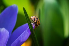 Printemps (martinmenard757) Tags: martin menard coccinelle printemps quebec insecte insect macro nikon 55mm