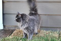 fuzz. (AliberTwist) Tags: brighteyes graycat catphotography cat sherlock petphotography