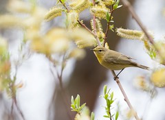 Willow Warbler (Phylloscopus trochilus) (piazzi1969) Tags: elements birds iran warbler wildlife fauna willowwarbler middleeast warblers canon eos 7d markii ef100400mm tehran fitis phylloscopustrochilus