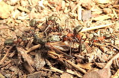 Southern Wood Ants killing a beetle in the New Forest. (dugwin2) Tags: several southern wood ants gripping twobanded longhorn beetle rhagium bifasciatum dragging towards nestheap bolderwood new forest