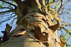 Peeling Bark (35mmMan) Tags: hatfieldpark hertfordshire nature trees bark texture peeling trunk 50mm patterns