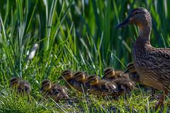 De los primeros de este año. (jordi51) Tags: anasplatyrhynchos collverd mallard anadereal aves birds wildlife jordi51 naturaleza nature