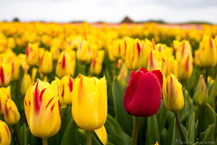 IMG_1883 (Eupeodes) Tags: bloemen bollenveld texel tulpen